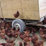 cover crop and chicken tillers