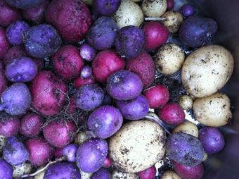 Planting Potatoes in Fall