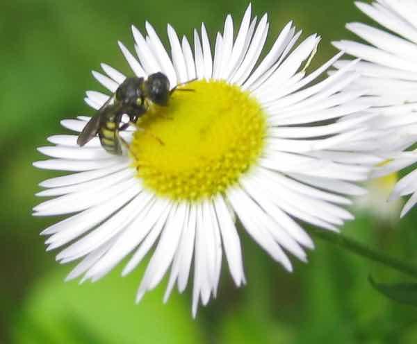 Daisy Fleabane Wildflower