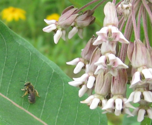 Native Bee on Milkweed