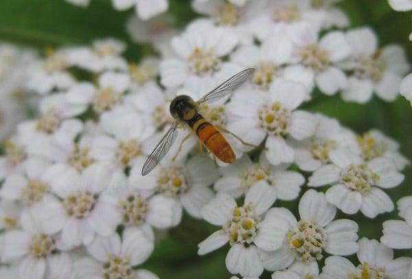 Wildflower Yarrow
