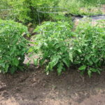Vegetable Plant Spacing