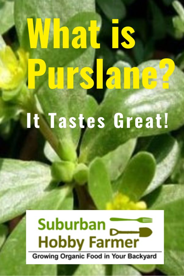 What is Purslane?