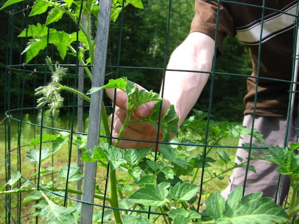 Tomato Pruning Benefits