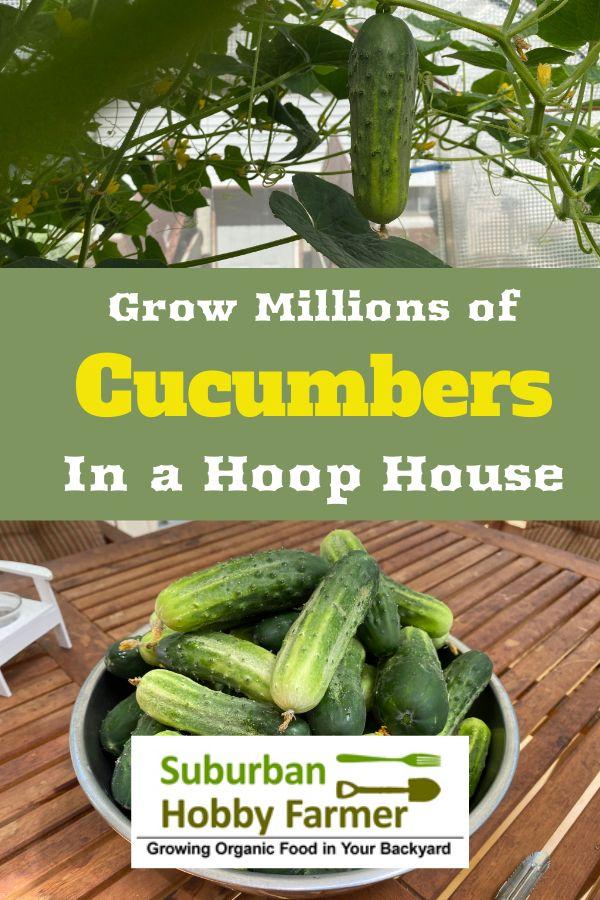 Hoop House Cucumbers