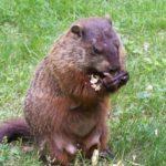 Keeping Groundhogs Away