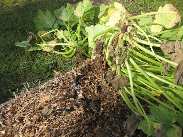 Zucchini Roots