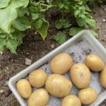 Grow Potatoes Fall